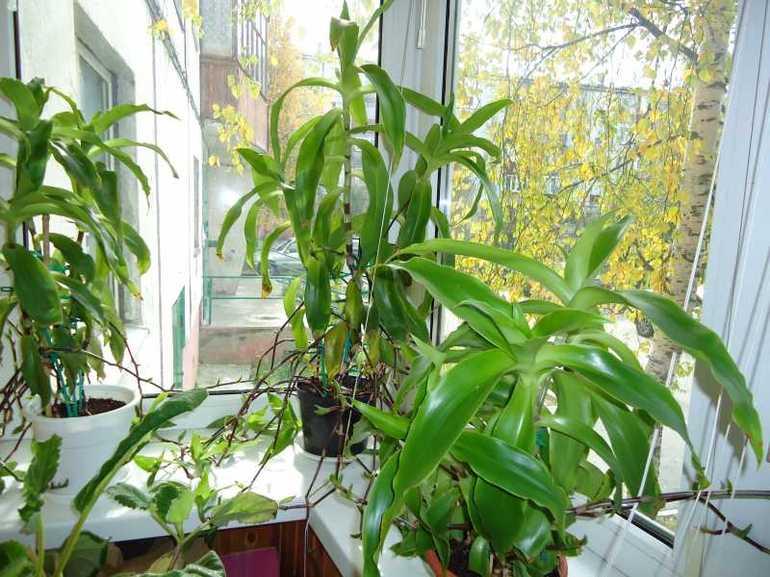 Лекарственное растение золотой ус