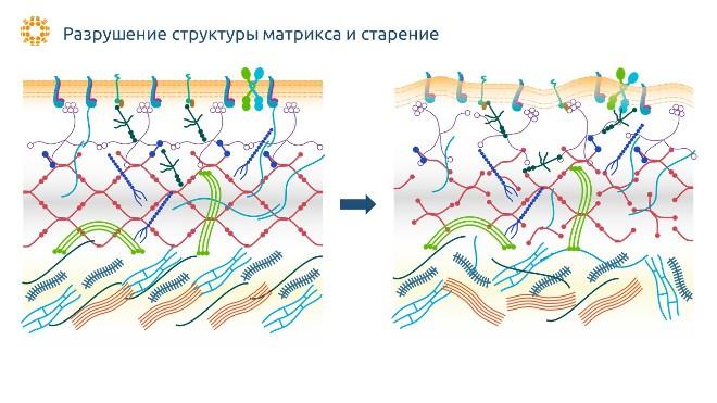 Старение внеклеточного матрикса