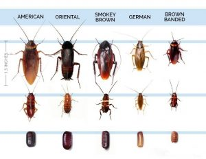 разновидности тараканов
